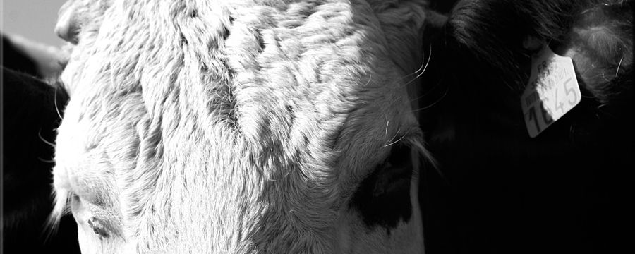 vaches (13)