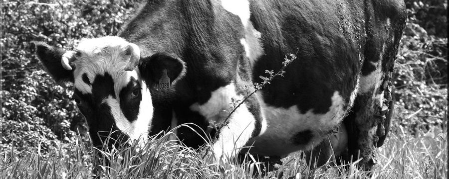 vaches (14)