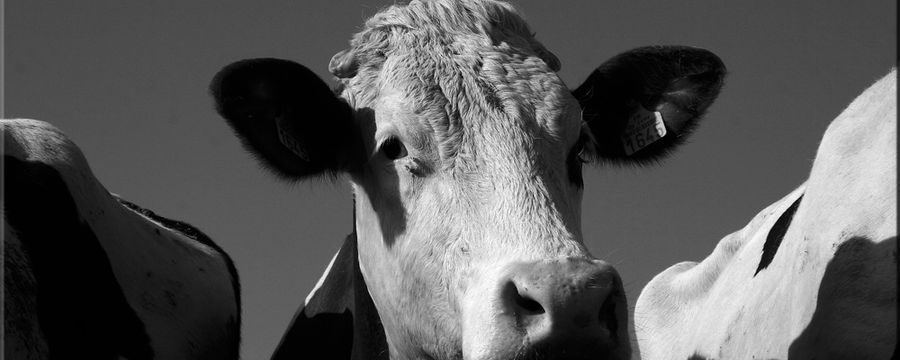 vaches (5)