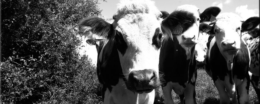 vaches (9)