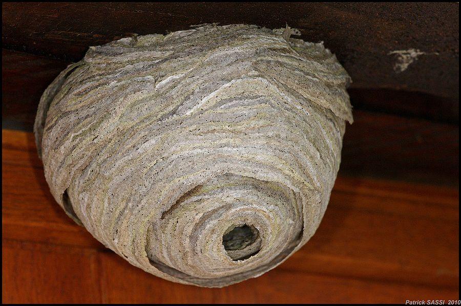 Nid de gu pes les photos de paddy - Enlever nid de guepe ...