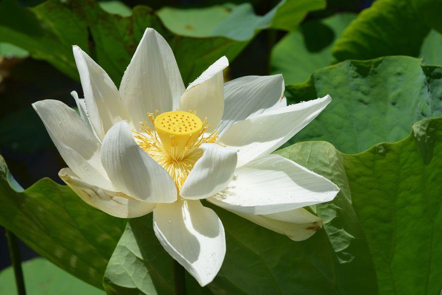 lotus 3496