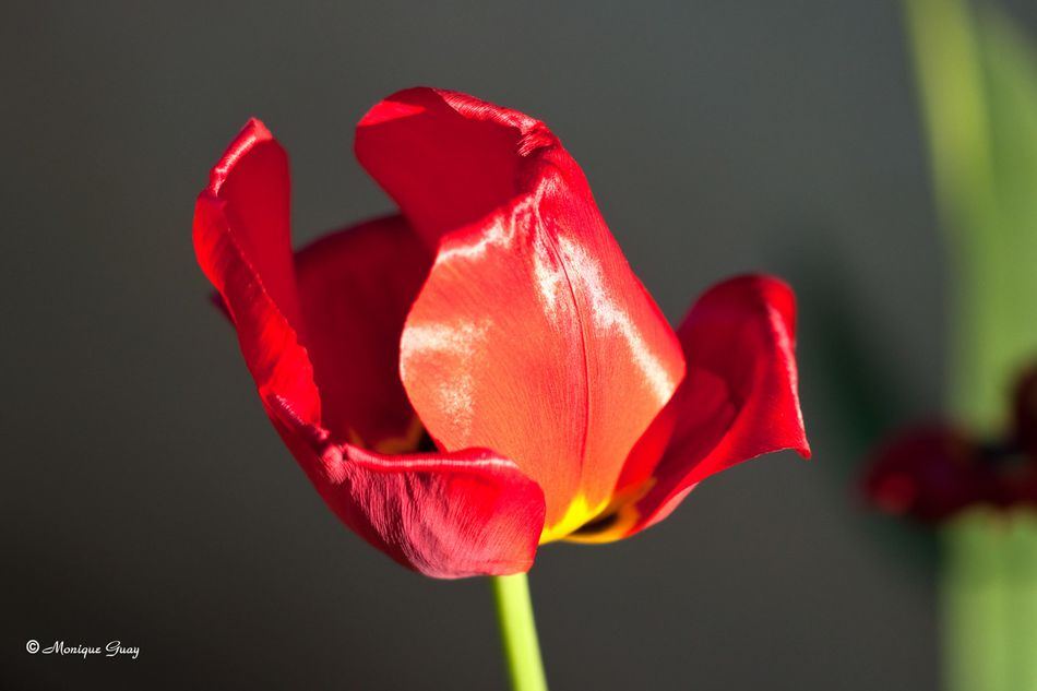 tulipe-7268.jpg