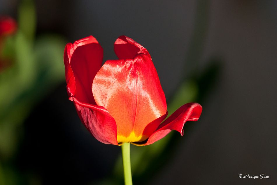 tulipe-7271.jpg