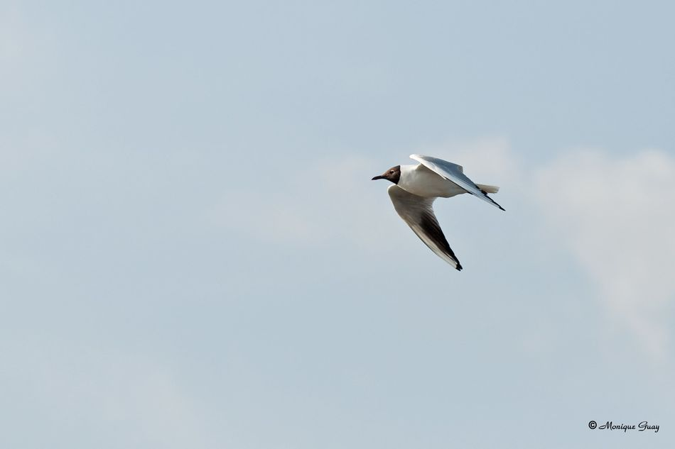 mouette-rieuse-en-vol-6472.jpg