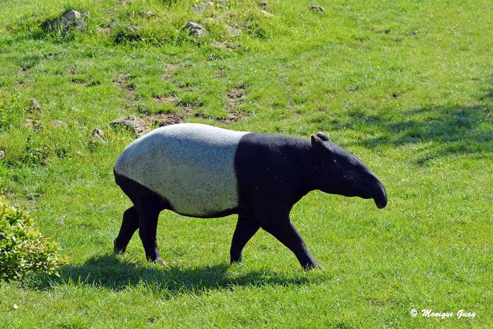 tapir-malais-6530.jpg