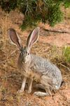 jack rabbit photo James Marvin Phelps wikicommons