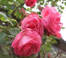 rosier grimpant campanile