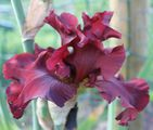 Iris germanica 'Dynamite'