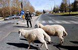 sheep-mouton (70)
