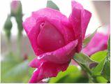 rose-rose-04.jpg