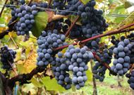Gamay grappe