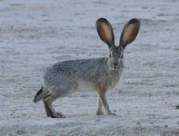 Jackrabbit2 photo Jim Harper wikicommons