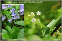 muguet-blanc-bleu-Foret-de-Chantilly-1.jpg