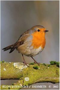 rouge-gorge wingles fev2012-4575-border