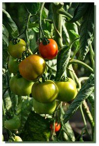 Tomate-25072012-0038