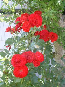 roses0003.jpg