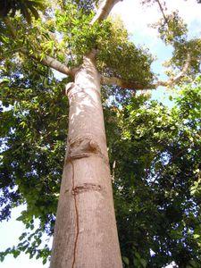 arbre-sacre-ciba.JPG