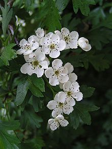 Aubepinepx-Common_hawthorn_flowers-copie-1.jpg