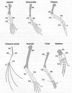 AnatomieComparée