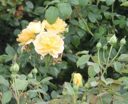 Rosier anglais 'molineux'
