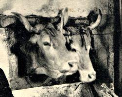 mini-A nos vaches (1)