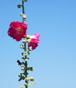 roses-tremieres-1-017.JPG