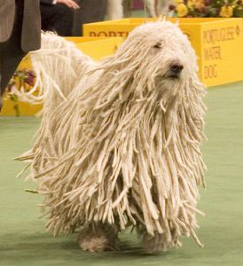 Komondor Westminster Dog Show crop Wikipedia