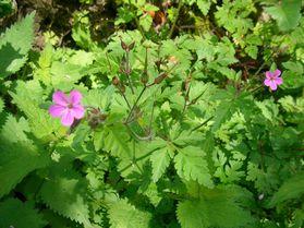 Geranium robertianum_2012-06-Castans