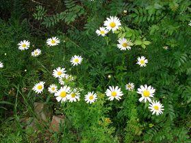 Marguerite commune Leucanthemum vulgare Berlou juin2013