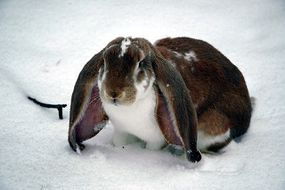 English-Lop-Rabbit-Breed