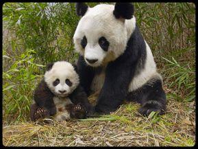 1231633828_wall-bebe-panda.jpg