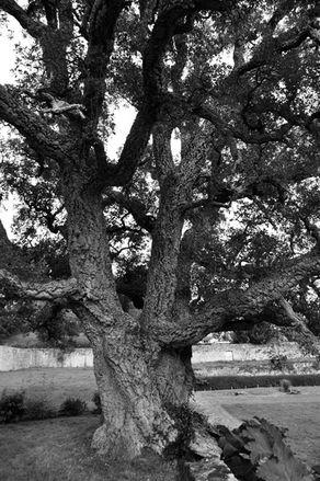 arbre-3115-Gonnevillechene