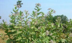 Calotropis-gigantea-Plant