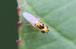 mouche chloropidae Thaumatomyia sp.