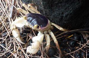 rando sp crabe