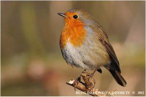 rouge-gorge wingles fev2012-4584-border