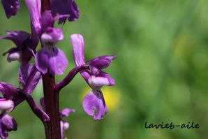 orchis-mascula 4044ccc