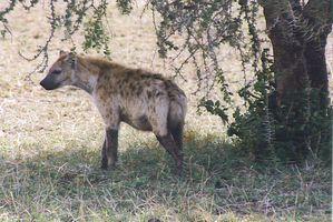 hyene-tanzanie.jpg