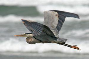 great-blue-heron-8270.jpg