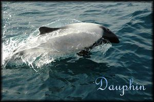 dauphins copie