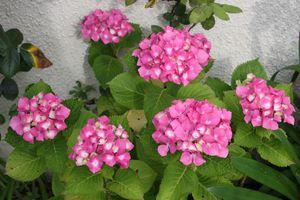 hortensia-3436.jpg