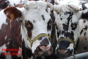 vaches-110
