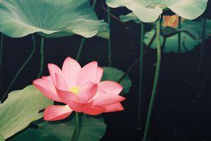 Lotus-Chine-1