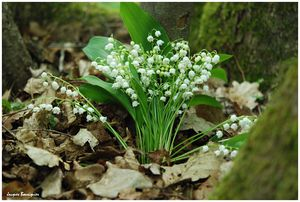 muguet blanc foret chantilly 3