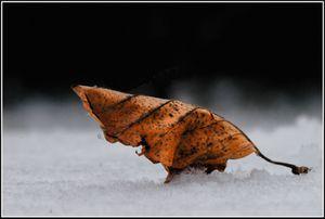 Feuille et neige