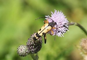 leptura maculata2