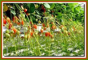 2013-1505-fraises-0273.jpg