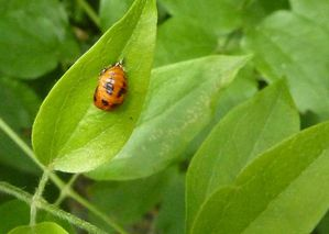 coccinelle nymphe