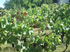 soleil sur les vignes fin aout